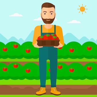 Landwirt, der tomaten sammelt.