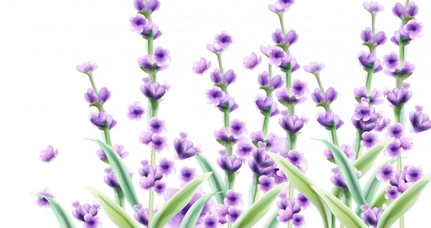 Lavendel in aquarell