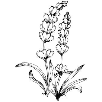 Lavendel isolierte skizze abbildung. handgezeichnetes element für hochzeitskräuter, pflanzen oder monogramme mit eleganten blättern für die einladung speichern das datumskartendesign. botanisches rustikales trendiges grün.