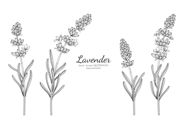 Lavendelblüte und blatt handgezeichnete botanische illustration mit strichzeichnungen.