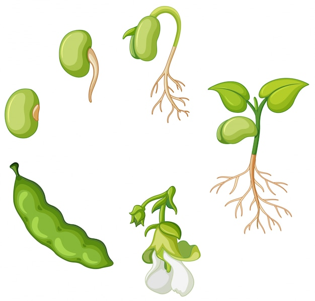 Lebenszyklus der grünen bohne