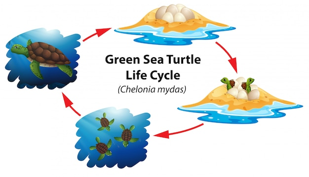 Lebenszyklus der grünen meeresschildkröte