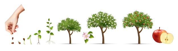 Lebenszyklus des apfelbaums