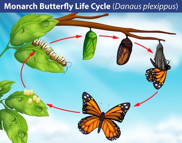 Lebenszyklus des monarchfalters
