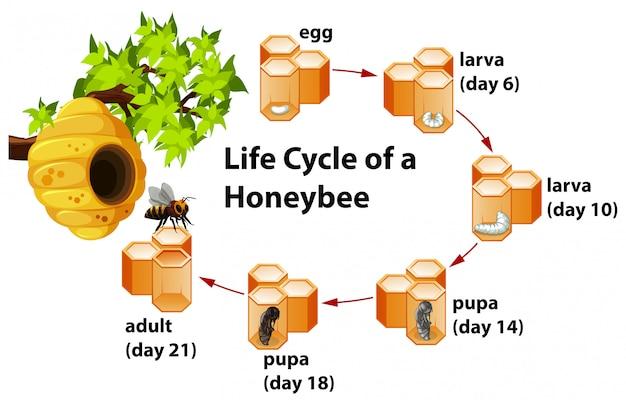 Lebenszyklus einer honigbiene