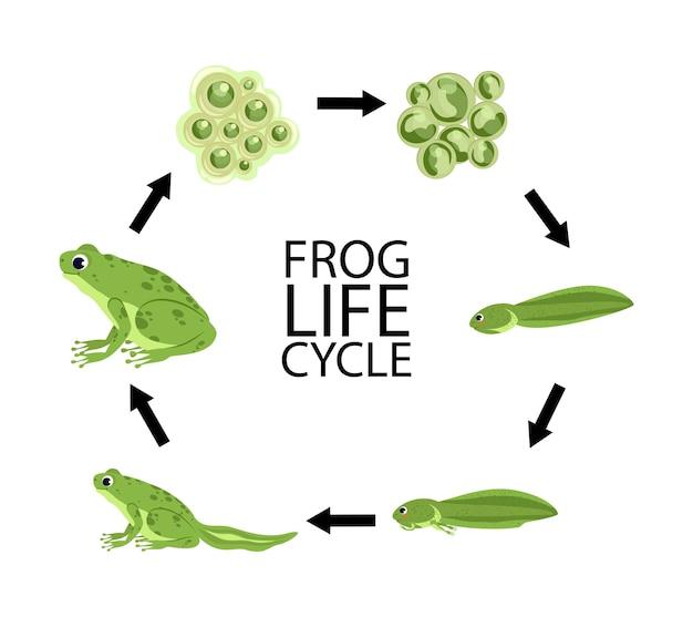 Lebenszyklus eines frosches. lebenszyklusphasen des frosches, eingestellt mit kaulquappe der befruchteten eier des erwachsenen tieres