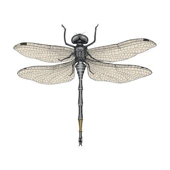 Libelle handzeichnung vintage gravur illustration