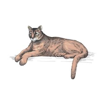 Liegender puma. liegender amerikanischer berglöwe, roter tiger, panther-tier. puma-fleischfresser im zoo, illustration, hand gezeichnete skizzenkunst