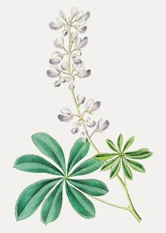 Lila buschlupine