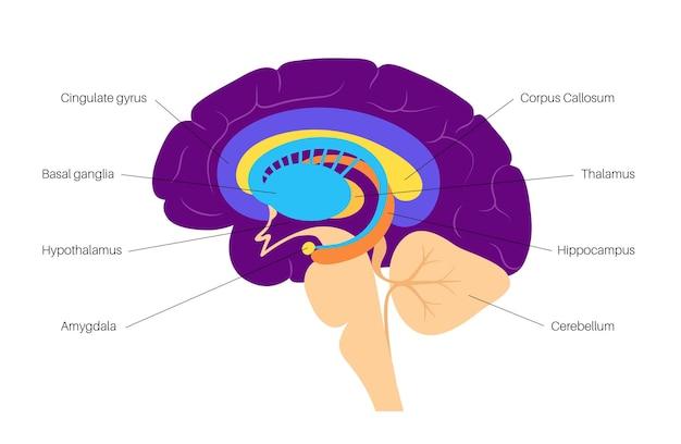 Limbisches systemkonzept und anatomie des menschlichen gehirns. großhirnrinde und kleinhirnvektorillustration