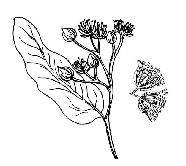 Lindenzweig skizzieren. lindenast mit blumen. hand gezeichnete artillustration der blumenweinlese. honigblumenzeichnung auf weißem hintergrund