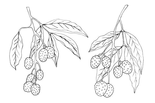 Litschi zweige sind schwarz und weiß isoliert auf einem weißen hintergrund, gezeichnet
