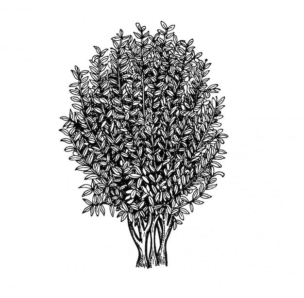 Lorbeerbaumskizze. tuschenskizze auf weißem hintergrund. hand gezeichnete illustration. retro-stil.