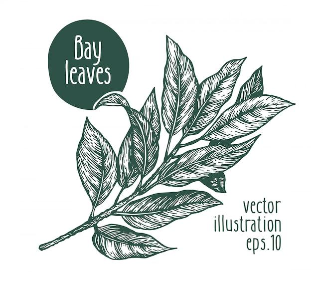 Lorbeerblätter. vektor hand gezeichnete illustration.