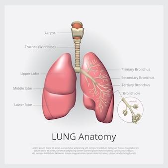 Lunge mit detailabbildung