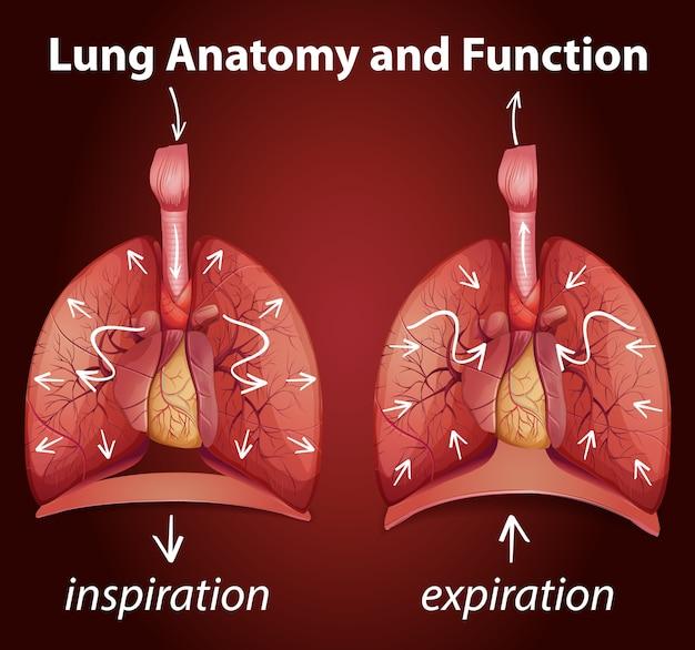 Lungenanatomie und funktionen für die bildung Kostenlosen Vektoren