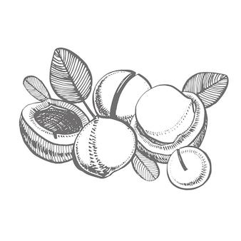 Macadamia illustrationen. hand gezeichnete lebensmittelzeichnung. nussbäume skizzieren sammlung.