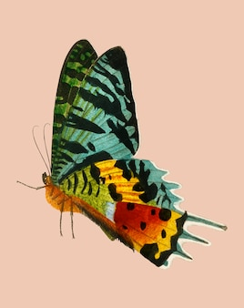 Madagascan sunset moth (urania riphaeus) illustriert von charles dessalines d'orbigny (1806-1876).