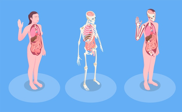 Männliche und weibliche menschliche körper und innere organe 3d isometrisch