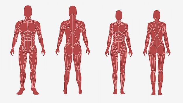 Männlicher und weiblicher körper in einer anatomischen, muskulösen illustration