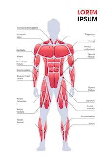 Männliches muskelsystem brett menschliche körperstruktur muskelkarte voller länge vertikaler kopierraum