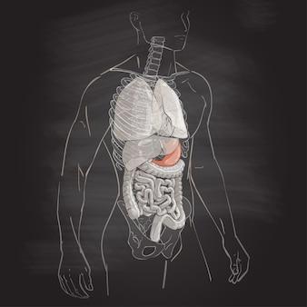 Magen des menschlichen körpers