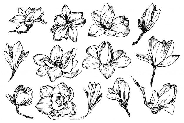 Magnolienblüten im gravurstil