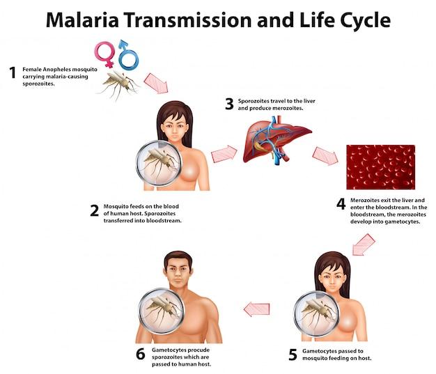 Malaria übertragung und lebenszyklus