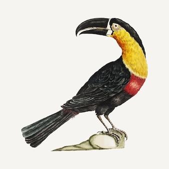 Mangiapepe tukan vintage illustration
