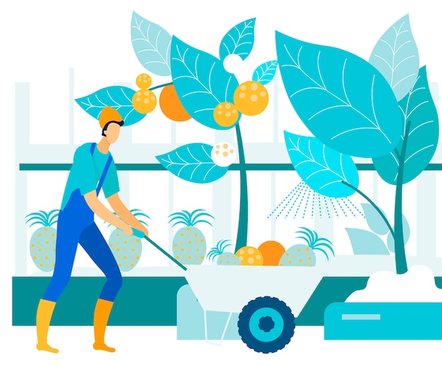 Mann sammelt tropische früchte im gewächshaus. vektor