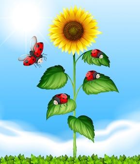 Marienkäfer fliegen um sonnenblumen