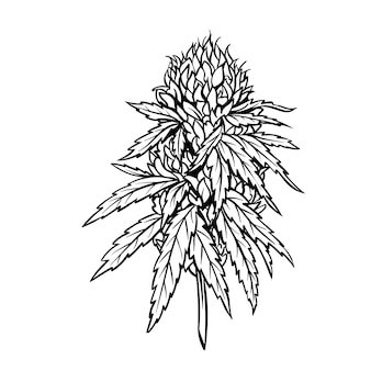 Marihuana reife pflanze mit blättern und knospen.