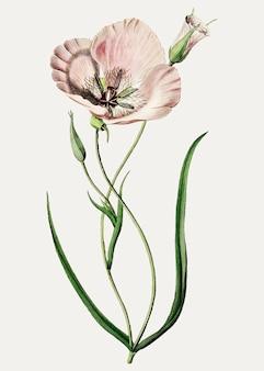 Mariposa lilie