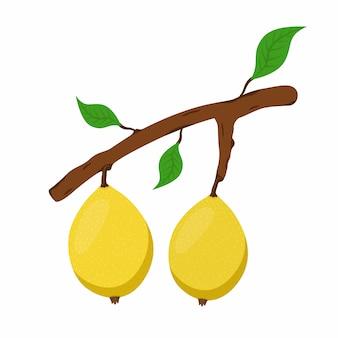 Marula, exotische frucht am zweig. frische vegetarische ernährung