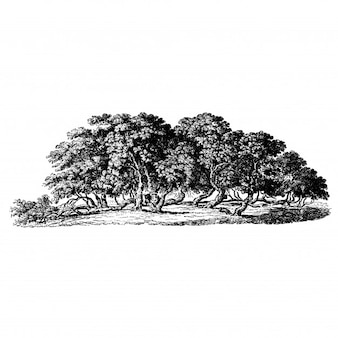 Maulbeerbaum Vintage Illustrationen