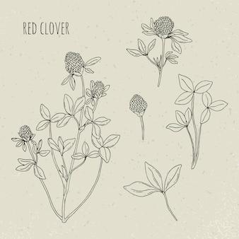 Medizinische botanische illustration des rotklees. pflanze, blätter, blumen handgezeichneter satz. vintage skizze.