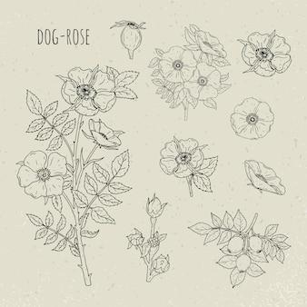 Medizinische botanische isolierte illustration der hundrose. pflanze, blumen, früchte, blätter, handgezeichnetes set. vintage skizze.