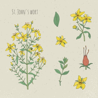 Medizinische botanische isolierte illustration der johanniskraut. pflanze, blätter, früchte, blumen handgezeichnetes set. vintage skizze bunt.