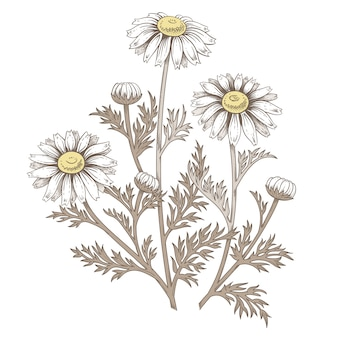 Medizinische gänseblümchenblume.
