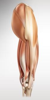 Medizinische illustration der rechten seite der ansicht der menschlichen muskeln hüfte und bein