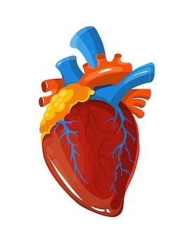 Medizinische illustration des menschlichen herzanatomischen vektors