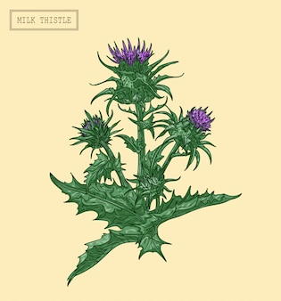 Medizinische mariendistelpflanze