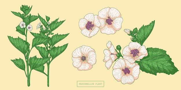 Medizinische marshmallow-pflanze, handgezeichnete botanische illustration in einem trendigen flachen stil