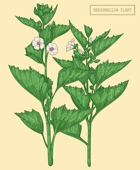 Medizinische marshmallow-pflanze
