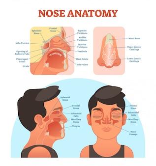 Medizinisches illustrationsdiagramm der nasenanatomie