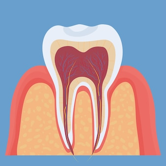 Medizinisches zahnmodell der menschlichen zahnanatomie buntes detailliertes objekt