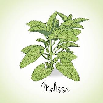 Mellissa kräuter und gewürze.