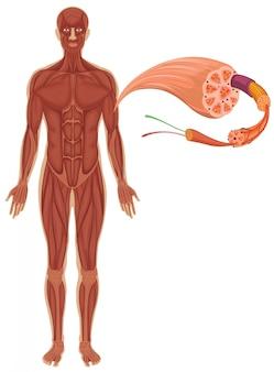 Mensch mit muskeldiagramm