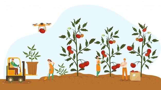 Menschen bauen gesunde bio-pflanzen mit saftigen tomaten an, illustration