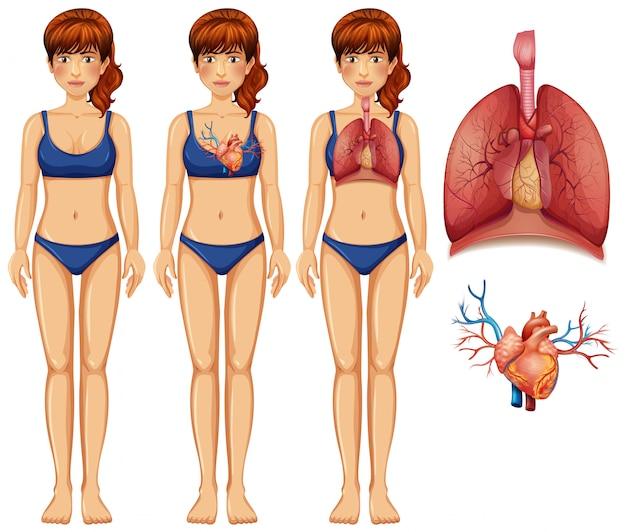 Menschliche anatomie der lunge und des herzens